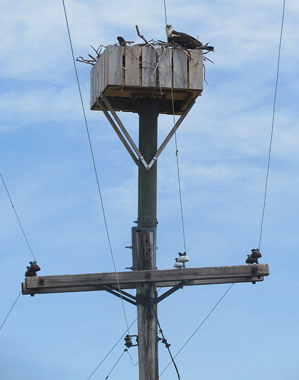 Nesting platform at Point Lookout State Park